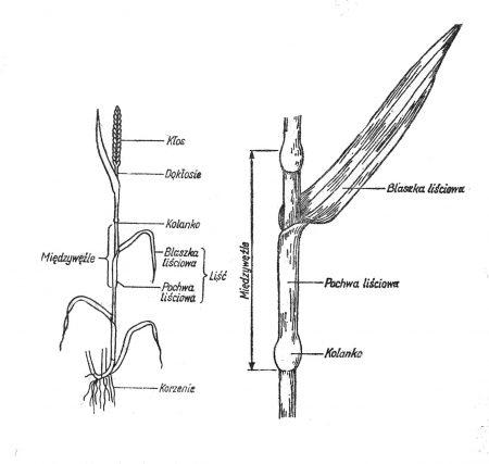 Roślina zboźowa (schemat)