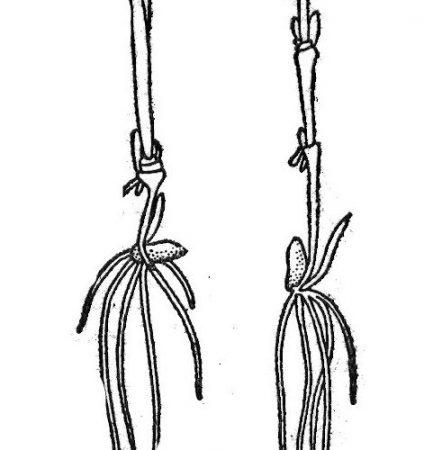 Węzły krzewlenia u żyta: a - przy normalnym przykryçiu zlarna w glebie, b - przy głębokim przykryciu ziarna; dolne liście usunięte