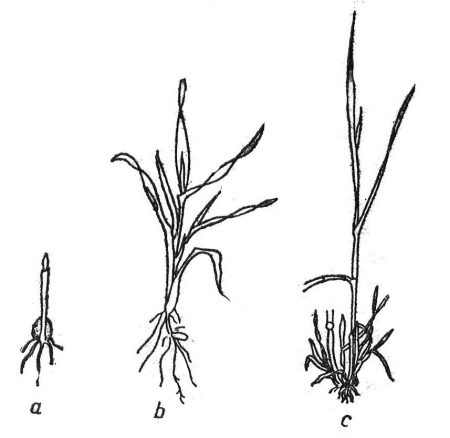 Fazy wzrostu zbóż